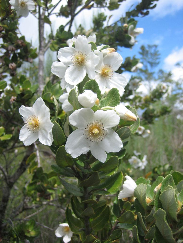 El tesoro de la flor de almendro