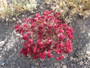 flor-desierto
