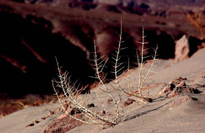matorral-del-desierto